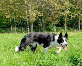 Cap Border Collie out in field